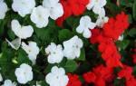 Бальзамин цветок уход в домашних условиях