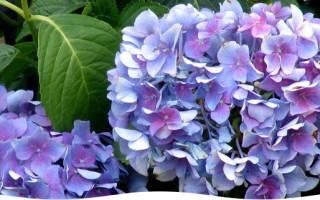 Сколько цветет гортензия