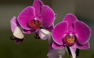 Орхидеи фиолетовые