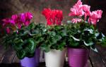 Цикламен цветок как ухаживать