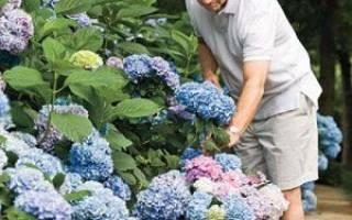 Как ухаживать за гортензией в саду весной