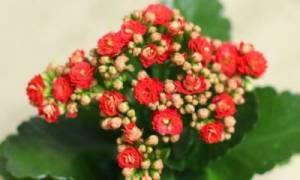 Каланхоэ розалина