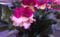 Цветы стрептокарпусы