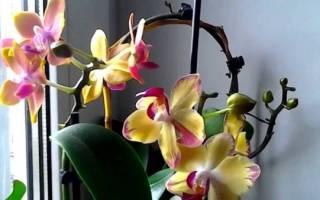 Как поливать орхидею во время цветения