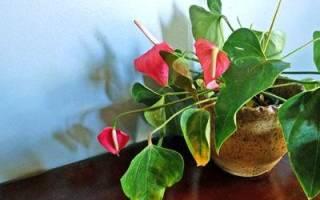Антуриум сохнут листья что делать
