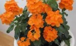 Почему краснеют листья у кроссандры