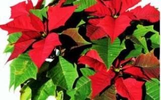 Цветок зеленые листья с красными прожилками