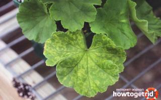 Почему сохнут листья герани