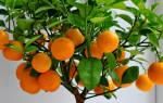 Апельсины навелин