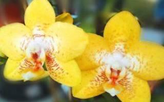 Как отделить от орхидеи отросток