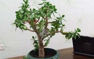 Посадка денежного дерева в домашних условиях