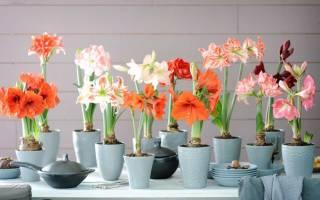 Цветок амариллис как ухаживать