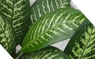 Комнатный цветок диффенбахия можно ли держать дома