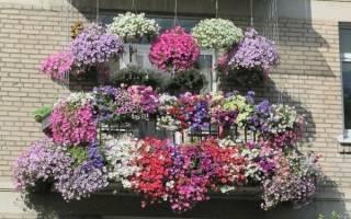 Как посадить петунию на балконе