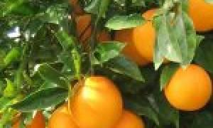 Апельсиновое дерево в горшке