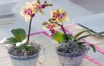 Засох цветонос у орхидеи что делать