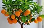 Апельсин из косточки в домашних условиях выращивание