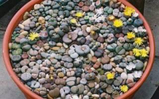 Как выращивать суккуленты из семян