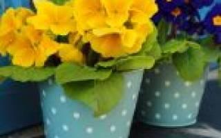 Уход за примулой после цветения