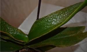 Орхидея после пересадки вянут листья