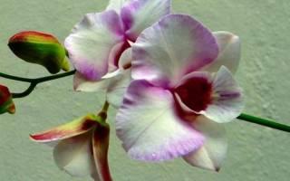 Орхидея как пересадить