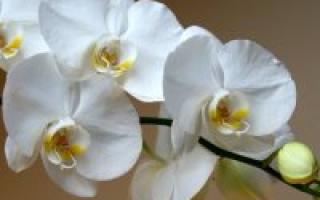 Орхидея после цветения что делать с цветоносом