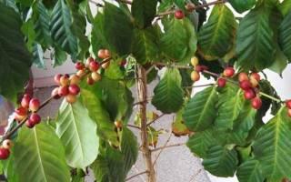 Кофе дерево в домашних условиях уход