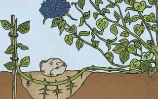 Как размножать гортензию