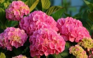 Гортензия розовая посадка и уход