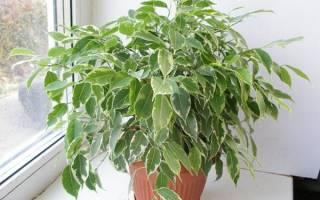 Размножение фикуса листом в домашних условиях