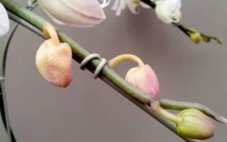 Почему вянут бутоны у орхидеи