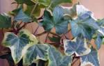 Домашние цветы лианы