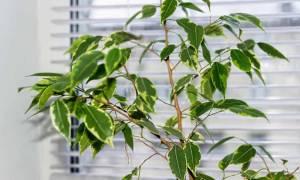 Что делать если фикус сбрасывает листья