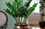 Замиокулькас комнатное растение