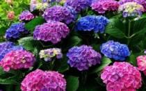 Подкормка гортензии весной для цветения