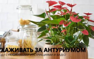 Цветок домашний антуриум