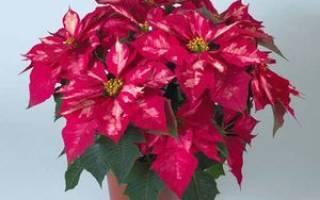 Рождественская роза цветок уход