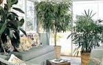 Комнатные растения больших размеров