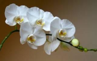 Как продлить цветение орхидеи фаленопсис