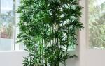 Комнатное растение бамбук уход