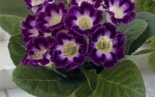 Домашний цветок глоксиния