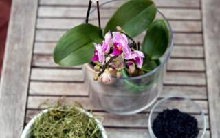Не цветет орхидея фаленопсис