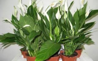Как размножается спатифиллум в домашних условиях