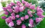 Как правильно посадить метельчатую гортензию весной