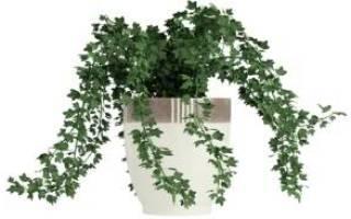 Вьющиеся цветущие комнатные растения