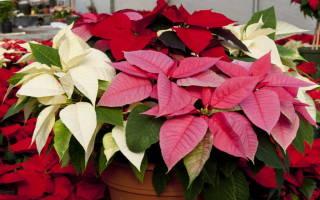 Рождественская звезда цветок в домашних условиях