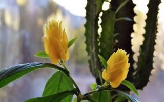 Почему не цветет пахистахис