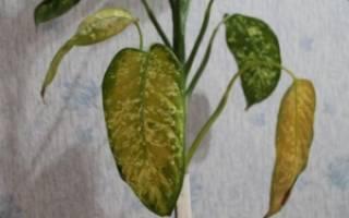 Почему сохнут кончики листьев у диффенбахии