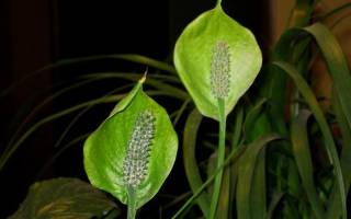 Спатифиллум цветы зеленые почему