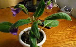 Почему у глоксинии заворачиваются листья внутрь